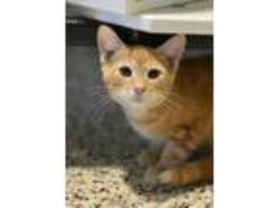 Adopt Donnie a American Shorthair