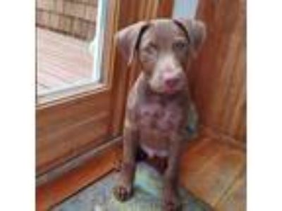 Adopt Walter a Brown/Chocolate American Staffordshire Terrier / Pit Bull Terrier