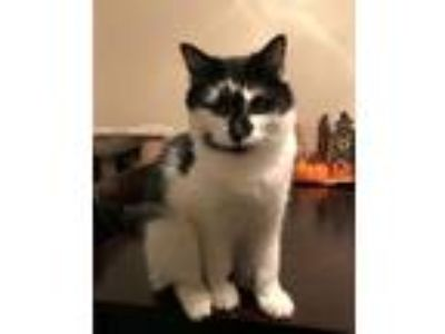 Adopt Stewey a Black & White or Tuxedo Domestic Mediumhair / Mixed (medium coat)