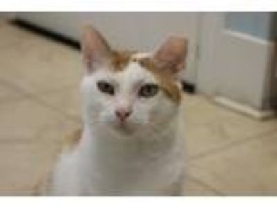Adopt Daughtry a Orange or Red (Mostly) Domestic Shorthair / Mixed (short coat)