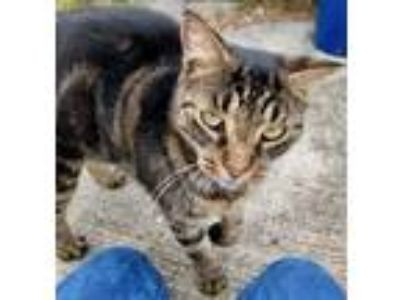 Adopt Toby a Tabby