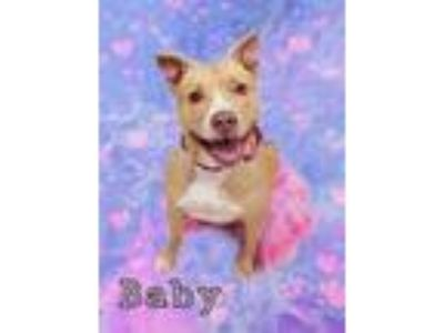 Adopt Baby, 7173 a Pit Bull Terrier, Labrador Retriever