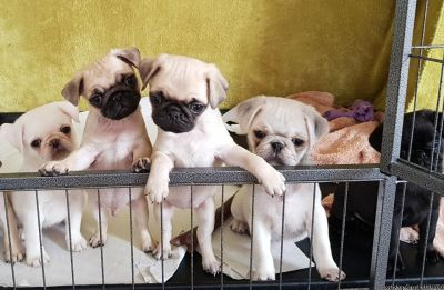 Ready Now Gorgeous Kc Reg Pug Puppies For Sale