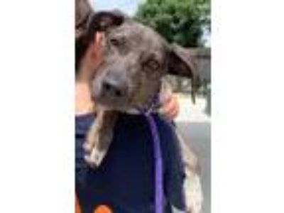 Adopt Cookie a Hound, Mixed Breed
