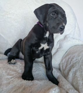 Great Dane PUPPY FOR SALE ADN-104992 - AKC GREAT DANE PUPPIES READY FOR THEIR NEW HOME
