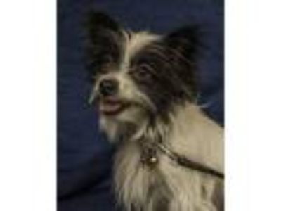 Adopt Luna a Black - with White Papillon / Mixed dog in Davis, CA (25546521)