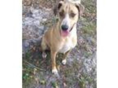 Adopt Maize a Tan/Yellow/Fawn Greyhound / Labrador Retriever / Mixed dog in Palm