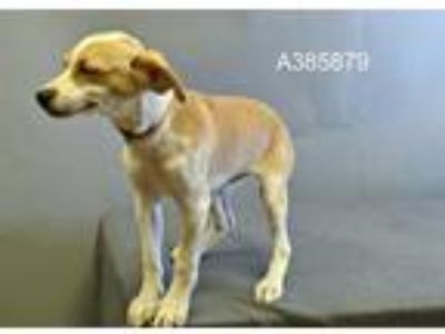 Adopt a White - with Tan, Yellow or Fawn Greyhound / Mixed dog in St.