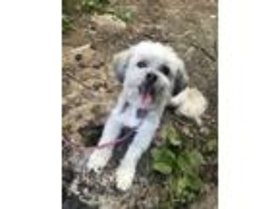 Adopt Bella a White Shih Tzu / Bichon Frise / Mixed dog in Apple Valley