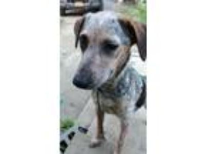 Adopt Jill a Tricolor (Tan/Brown & Black & White) Australian Cattle Dog /