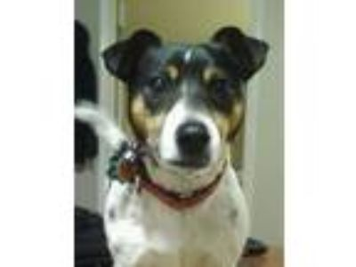 Adopt Isabelle a Jack Russell Terrier