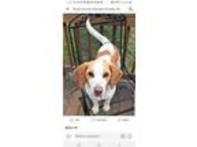 Adopt Bentley a Brown/Chocolate - with White Beagle / Mixed dog in Mount Mourne