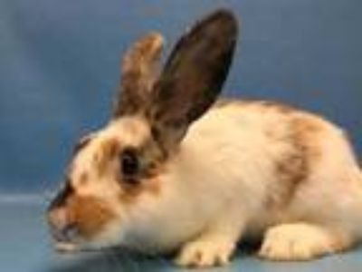Adopt Bugs a White Lop, Holland / Mixed rabbit in Golden Valley, MN (25501972)