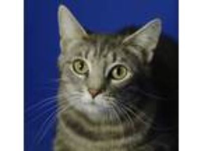 Adopt Raine a Domestic Short Hair, Tabby
