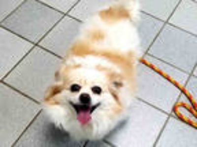 Adopt DAISY a Tan/Yellow/Fawn - with White Pekingese / Mixed dog in Canfield