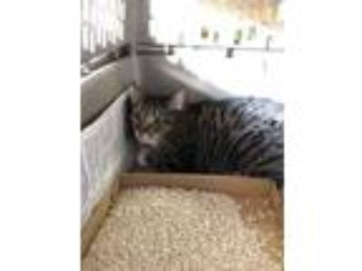 Adopt Sweetie a Brown or Chocolate Domestic Shorthair / Domestic Shorthair /
