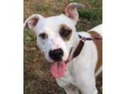 Adopt Precious- Mobile Adoption Event a White American Pit Bull Terrier / Mixed