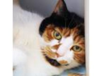 Adopt Turtle a White Domestic Shorthair / Domestic Shorthair / Mixed cat in