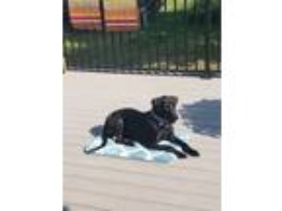 Adopt Judah a Black Labrador Retriever / Coonhound (Unknown Type) / Mixed dog in