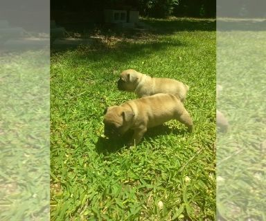 French Bulldog PUPPY FOR SALE ADN-128693 - french bulldog puppies
