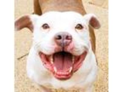Adopt Phoebe a White - with Tan, Yellow or Fawn Pit Bull Terrier / Mixed dog in