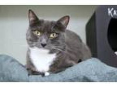 Adopt Astraea a Gray or Blue (Mostly) Domestic Shorthair / Mixed cat in East