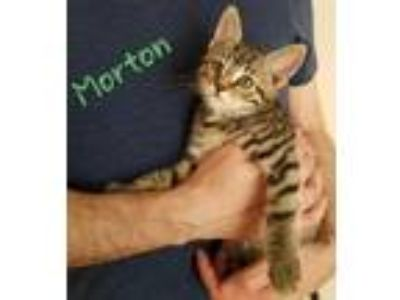 Adopt Morton a Domestic Short Hair