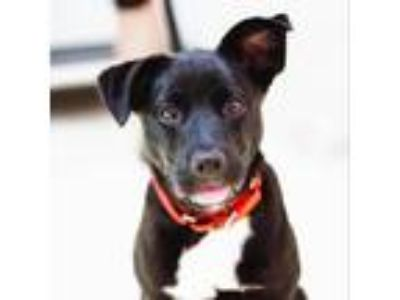 Adopt Clarissa Darling a Black Pit Bull Terrier / Labrador Retriever dog in New