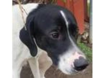 Adopt Arcades a Black - with White German Shorthaired Pointer / Great Pyrenees /