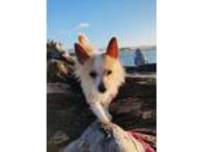 Adopt Hunter a Tan/Yellow/Fawn - with White Terrier (Unknown Type