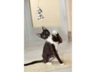 Adopt Boots/Penguin a All Black Domestic Shorthair / Domestic Shorthair / Mixed