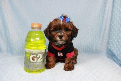 Gorgeous Pomshi puppy in Las Vegas!