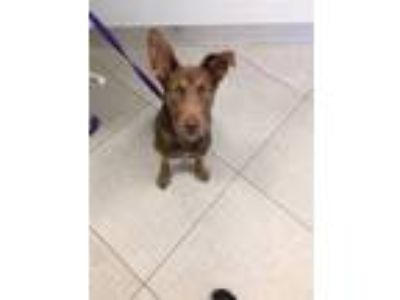 Adopt UNKNOWN a Doberman Pinscher, Mixed Breed
