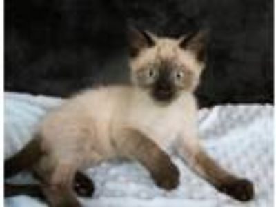 Adopt Jon a Domestic Short Hair, Siamese