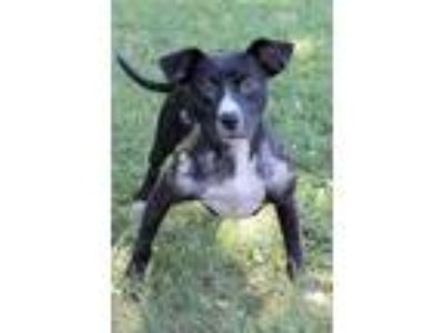 Adopt Nicole a Black - with White Labrador Retriever / Pit Bull Terrier / Mixed