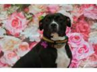 Adopt Lady Wayfair H Wilson-her soulful eyes tell a sad story a Pit Bull Terrier