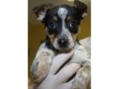 Adopt Turbo a Australian Cattle Dog / Blue Heeler, Mixed Breed