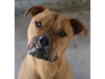 Adopt Titan a Brown/Chocolate Terrier (Unknown Type, Medium) / Mixed dog in