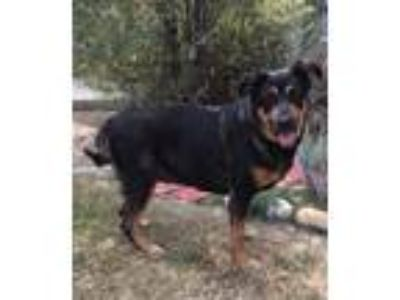 Adopt Cookie a Brown/Chocolate - with Black German Shepherd Dog / Rottweiler /