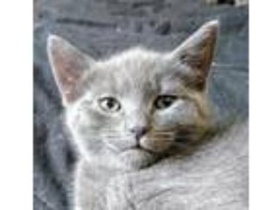 Adopt Morgan a Gray or Blue Russian Blue / Mixed (short coat) cat in Knoxville