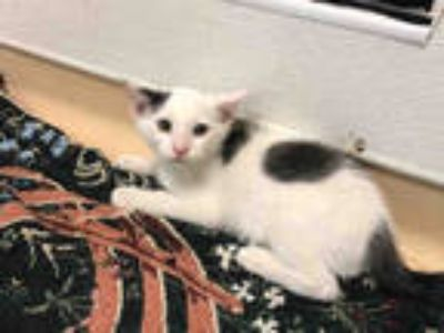 Adopt CASTIEL a White (Mostly) Domestic Shorthair / Mixed (short coat) cat in