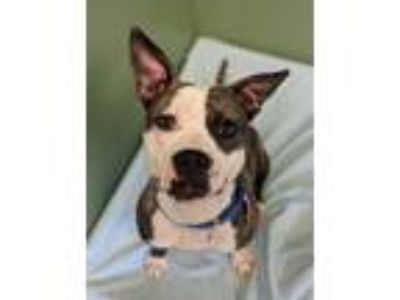 Adopt Noodle a Pit Bull Terrier
