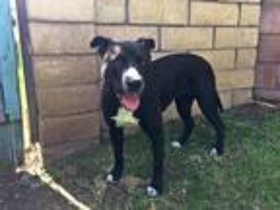 Adopt Dolly a Black Pit Bull Terrier / Labrador Retriever / Mixed dog in Los
