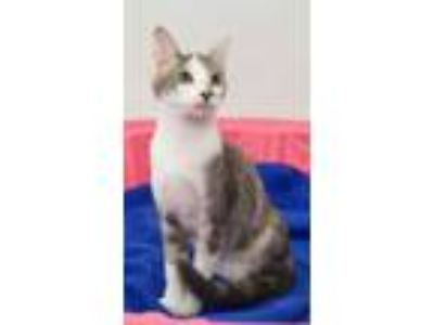 Adopt Sophie a Calico or Dilute Calico Domestic Shorthair / Mixed (short coat)