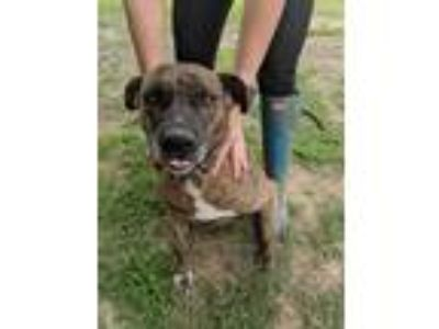 Adopt Gracie a Brindle - with White American Staffordshire Terrier / Pit Bull