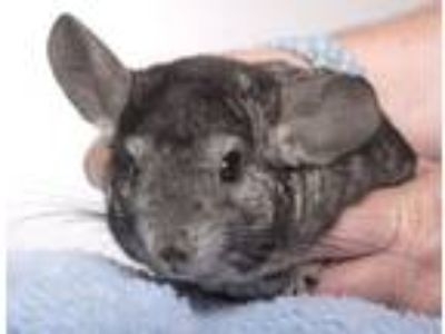 Adopt Avery a Chinchilla