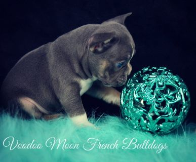 Import French Bulldog Puppies