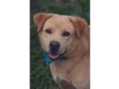 Adopt Chandler a Tan/Yellow/Fawn Golden Retriever / Mixed dog in Loxahatchee