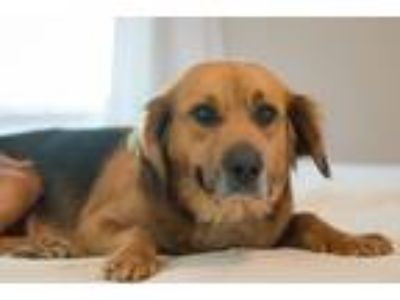 Adopt Ally a Red/Golden/Orange/Chestnut - with Black German Shepherd Dog / Mixed