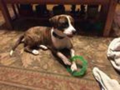 Adopt Hank a Brindle - with White Boxer / Mixed dog in Hoffman Estataes